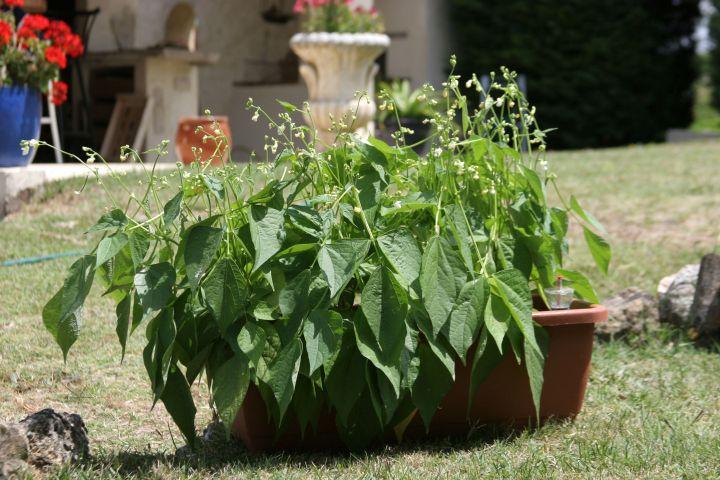 Jardinière de haricots 'Mascotte', Vilmorin