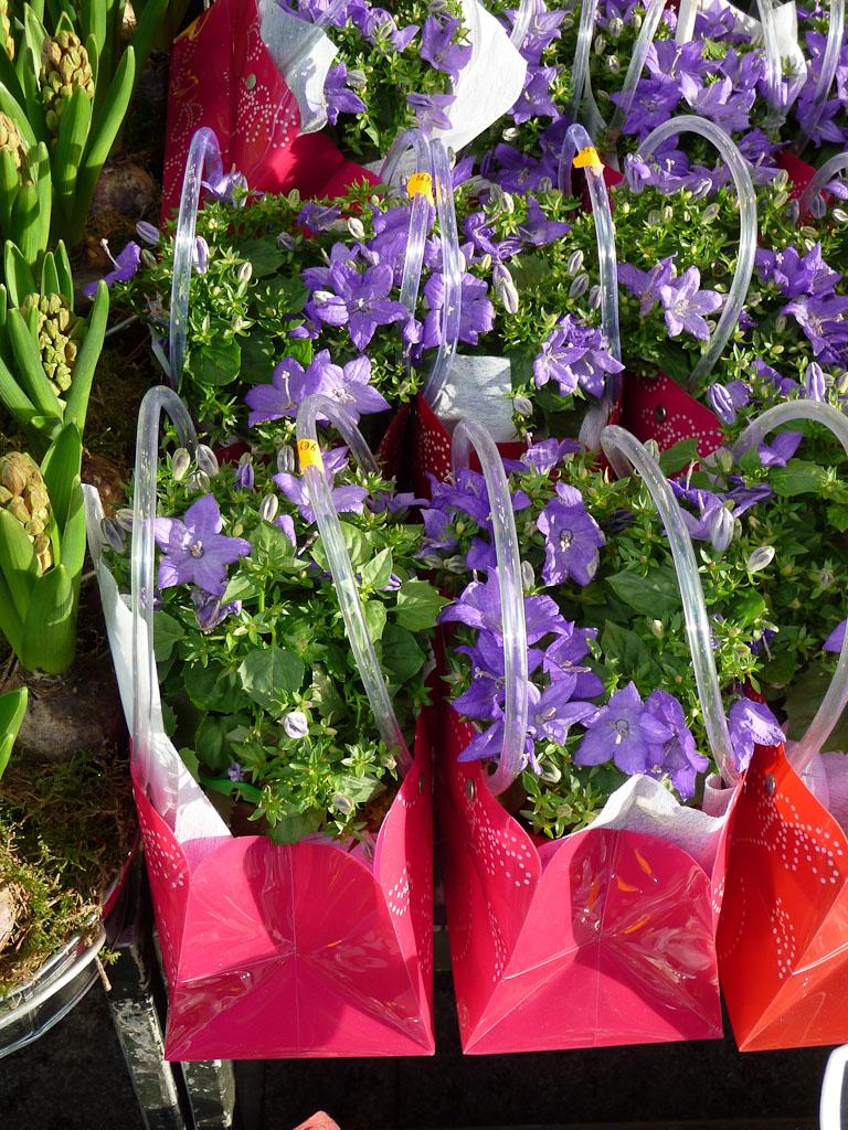 Paniers fleuris remplis de campanules des Carpathes forcées