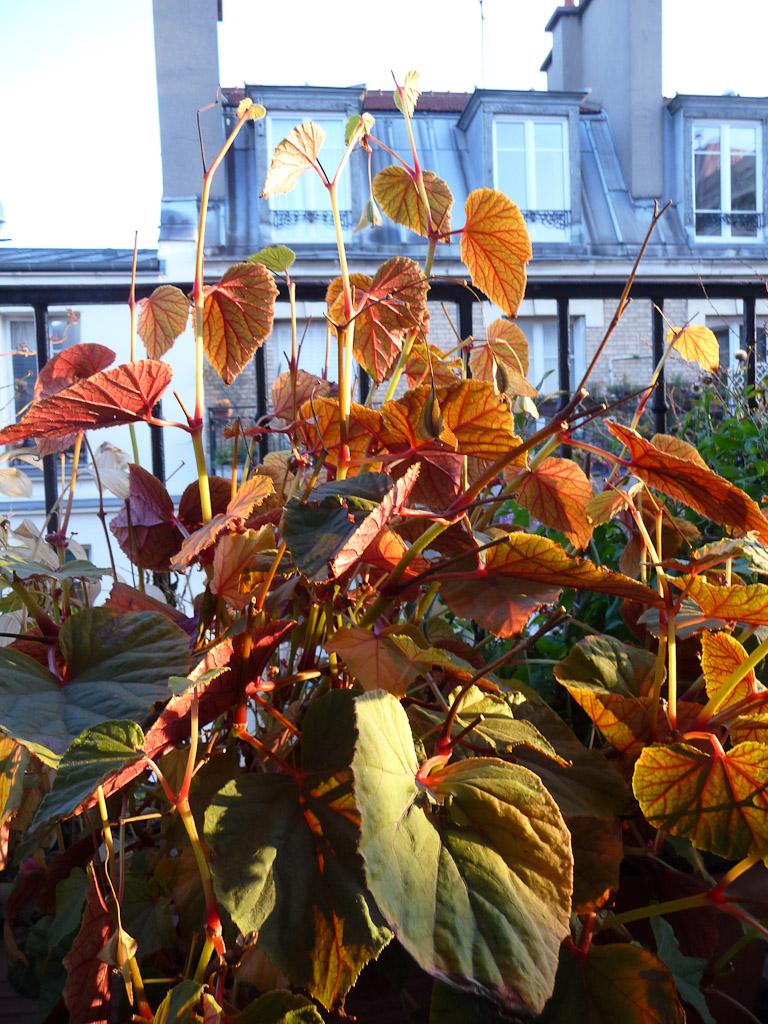 Begonia grandis ssp. evansiana 'Alba' sous le soleil en automne sur mon balcon