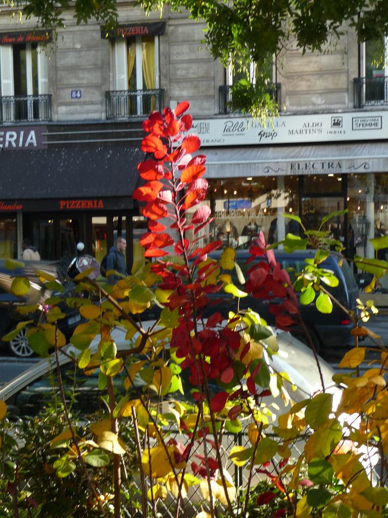 Cotinus rouge vif en automne, avenue de Flandre, Paris 19e (75)