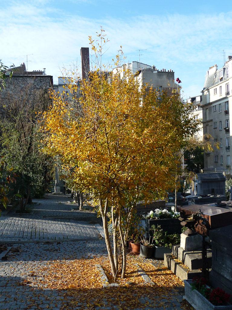 Grenadier (Punica granatum) en automne dans le cimetière Saint-Vincent, Montmartre, Paris 18e (75)
