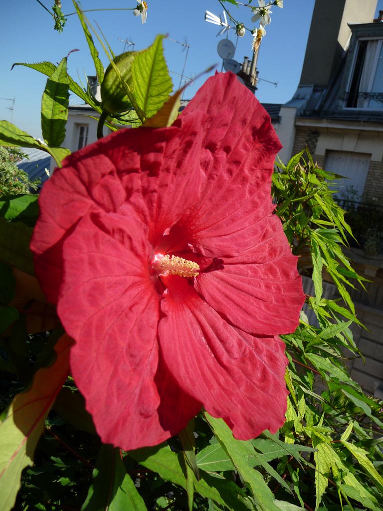 Première fleur de mon Hibiscus 'Fireball' sur mon balcon en plein été, Malvacées