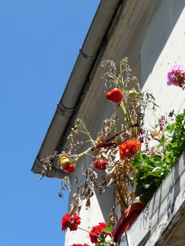 Jardinière de tomates surplombant la rue, Paris 20e
