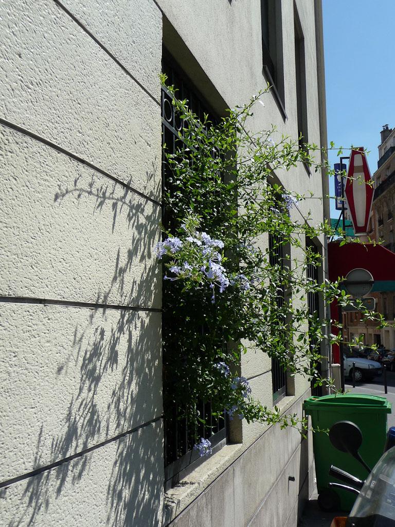 Dentelaire du Cap (Plumbago capensis) s'échappant d'une fenêtre grillagée, rue Pixérécourt, Paris 20e (75)