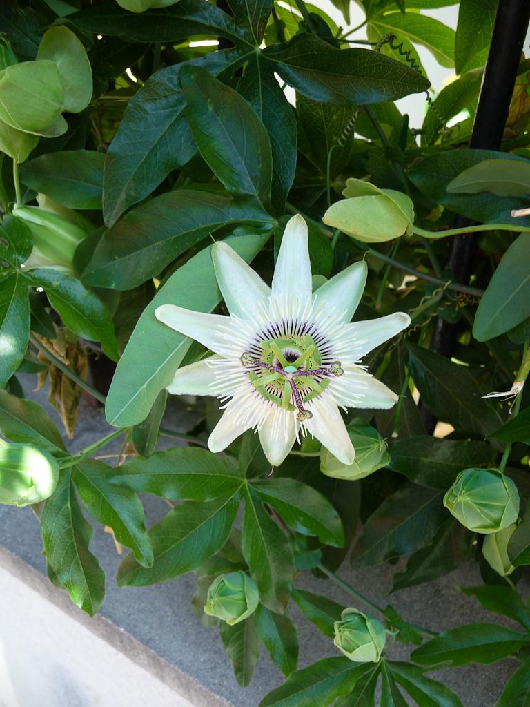 Fleur de la passion 'Constance Elliot' dans la rue de la Duée, Paris 20e (75)