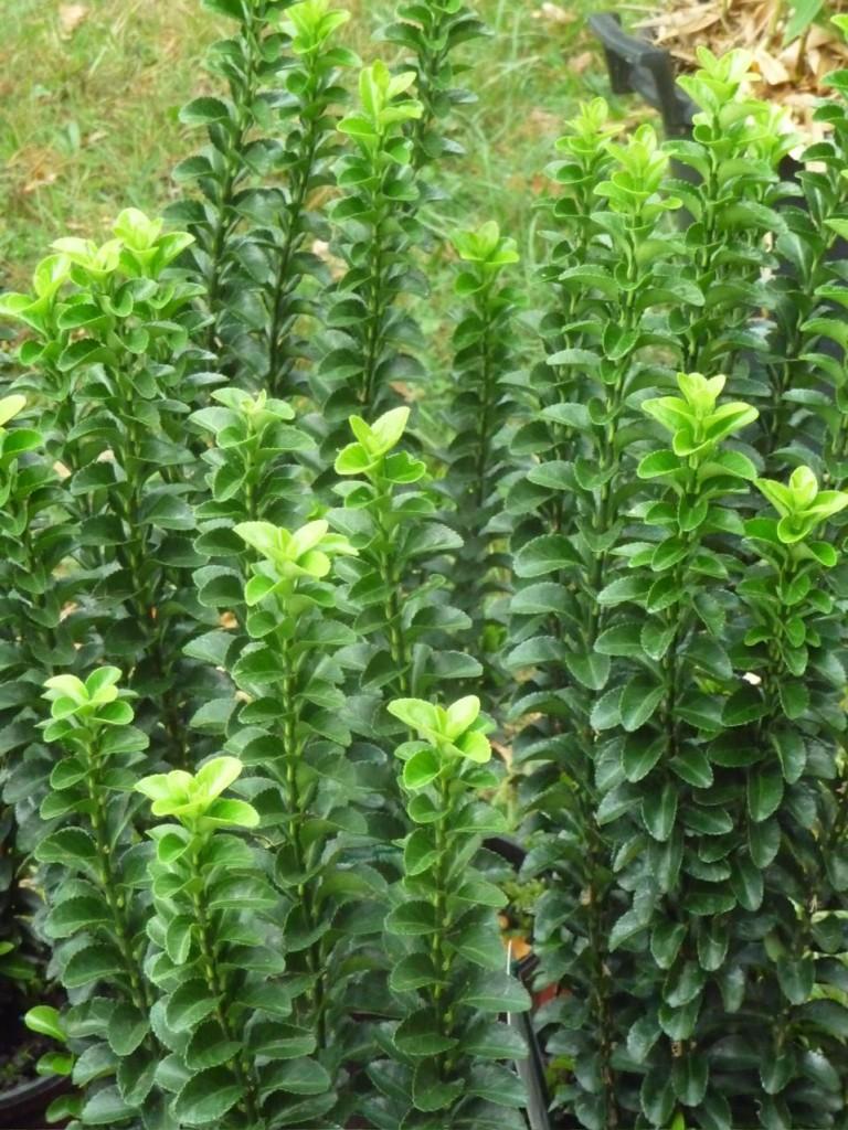 Euonymus japonicus 'Green Rocket', Journées des Plantes de Courson (91), automne 2009, photo Alain Delavie