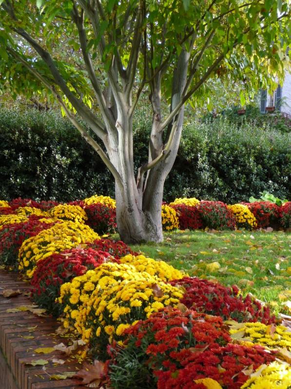Parterre de chrysanthèmes dans le Parc de Bercy en automne, Paris 12e (75)