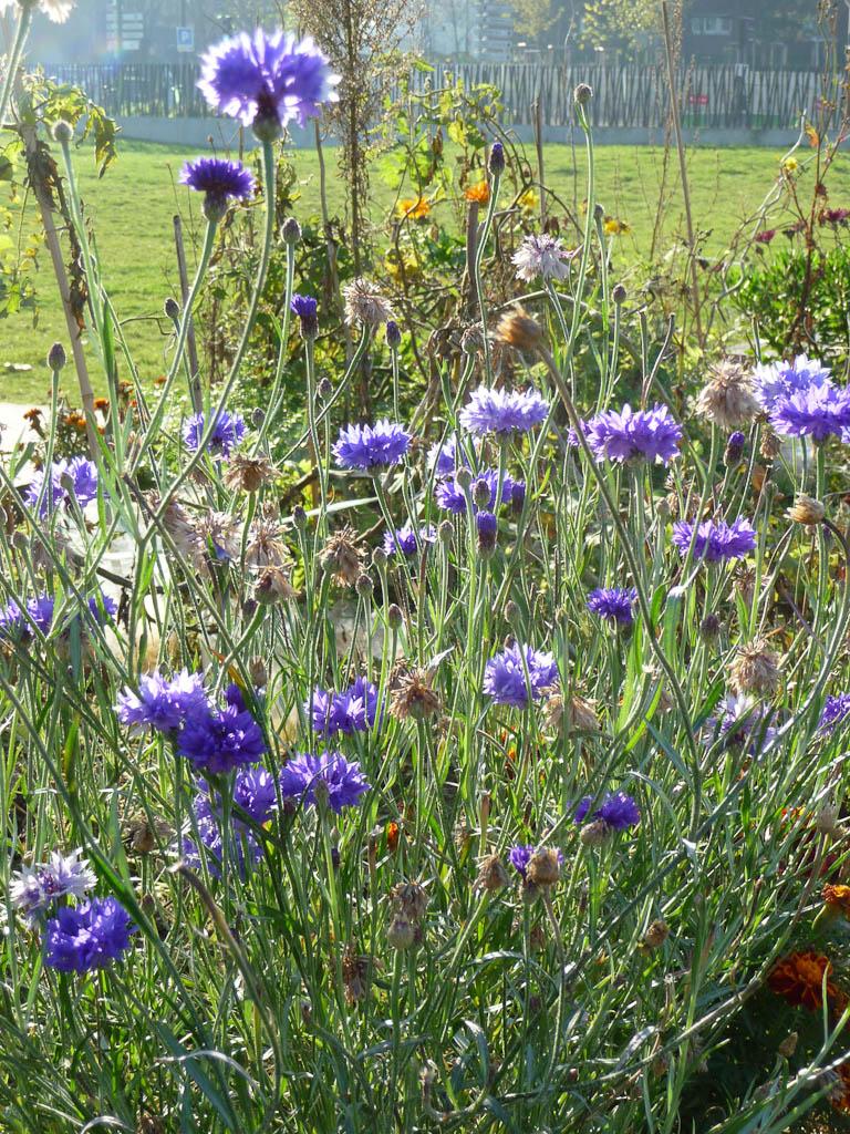 Centaurées bleuets dans le jardin Serge Gainsbourg, Paris 19e (75)