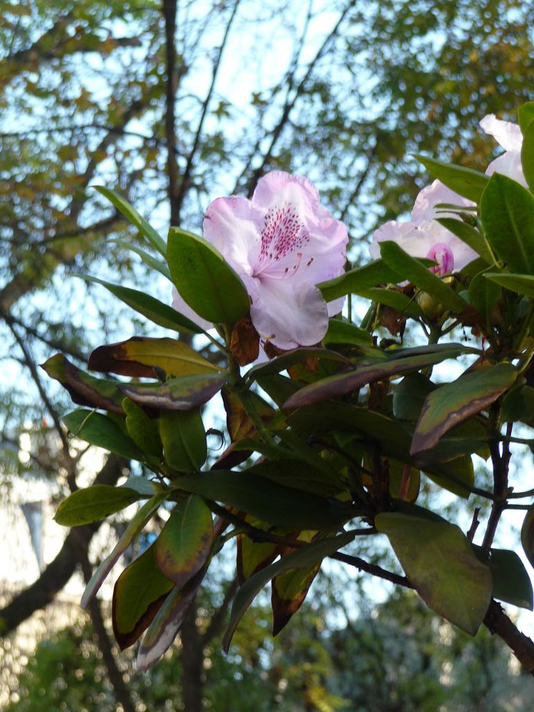 Floraison automnale d'un rhododendron dans l'avenue Gambetta, Paris 20e (75)
