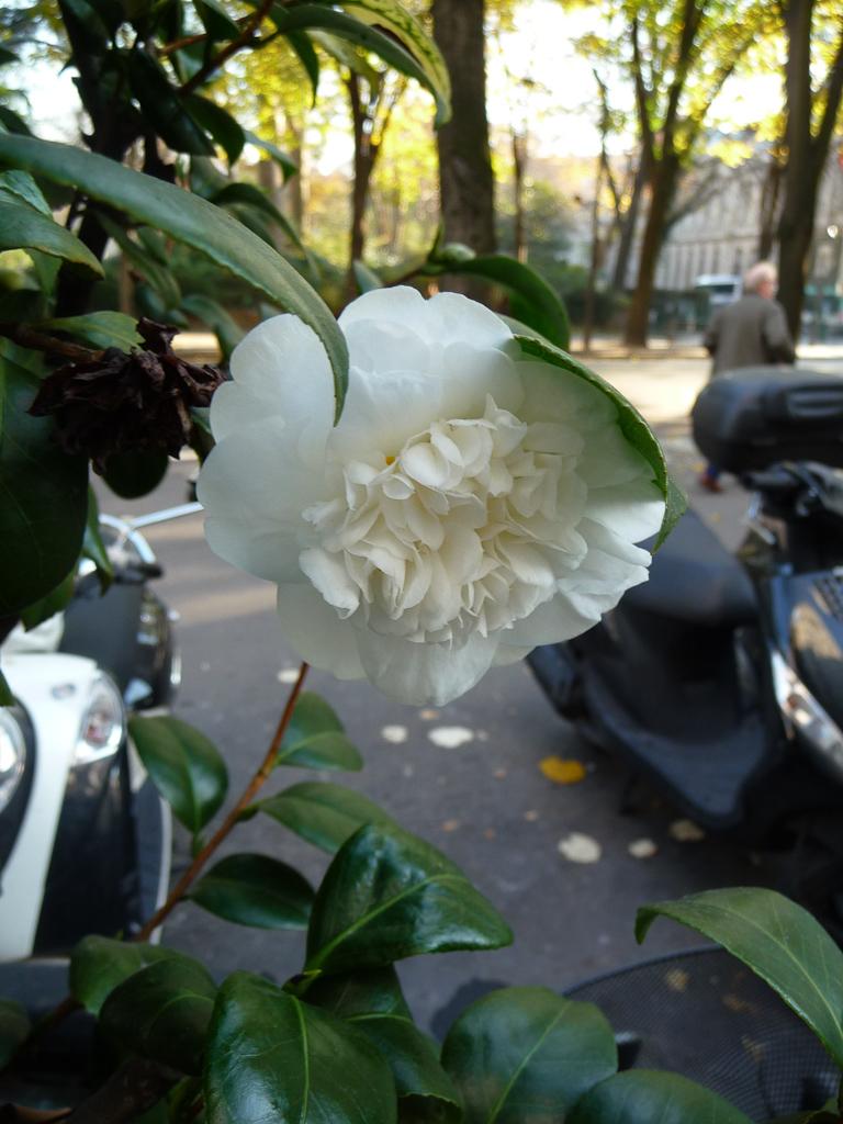 Fleur double d'un camélia en automne dans la rue Gambetta, Paris 20e (75)