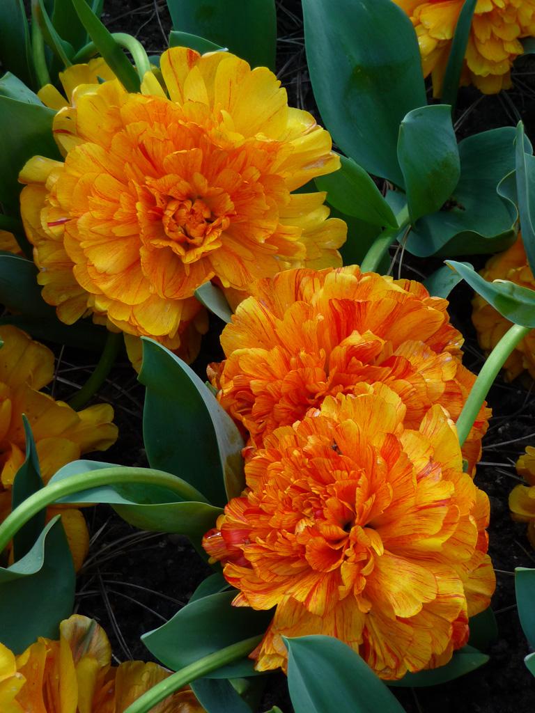 Tulipe 'Sun Lover', Parc Floral de Paris, Paris 12e (75)