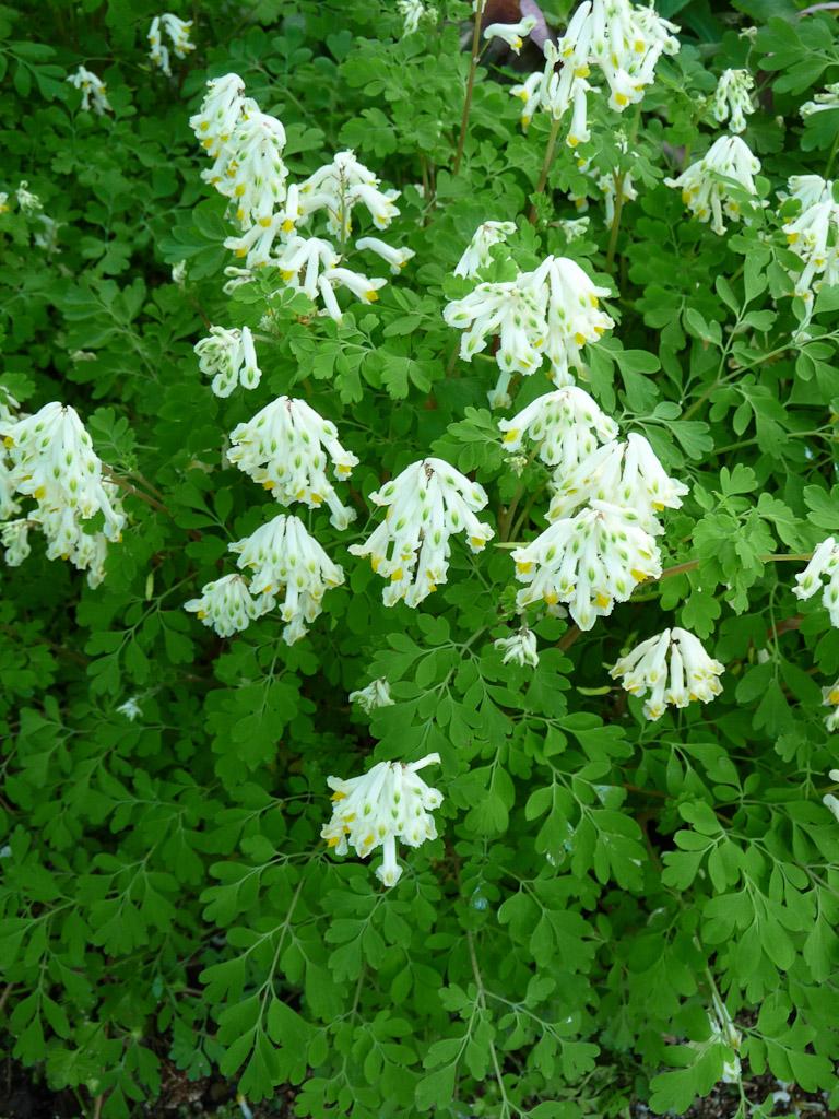 Corydalis ochroleuca, parc floral de Paris, Paris 12e (75), 1er mai 2012, photo Alain Delavie