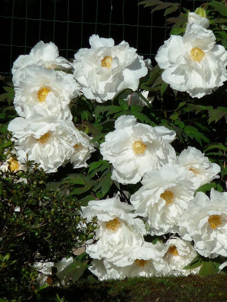 Pivoine arbustive à fleurs blanches, Parc Floral de Paris, Paris 12e (75)