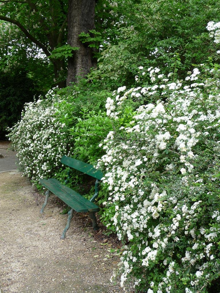 Banc entouré de spirées couvertes de fleurs blanches au printemps dans le parc des Buttes-Chaumont, Paris 19e (75)