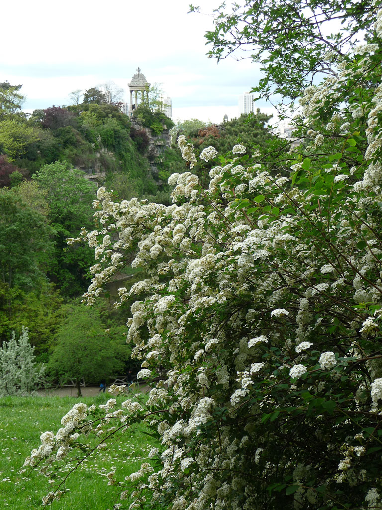 Touffe de spirée au printemps dans le parc des Buttes-Chaumont, Paris 19e (75)