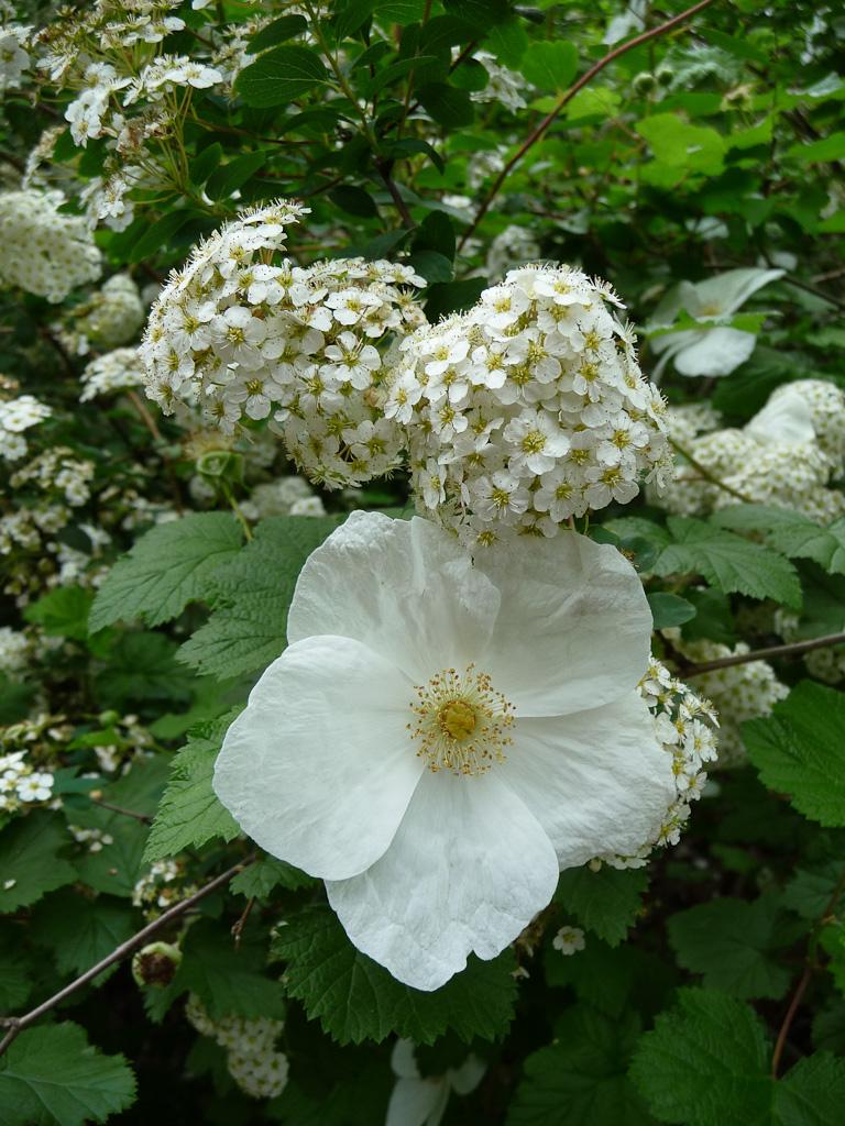 Ronce (Rubus tridel '€˜Benenden'€™) et spirée dans le parc des Buttes-Chaumont, Paris 19e (75)