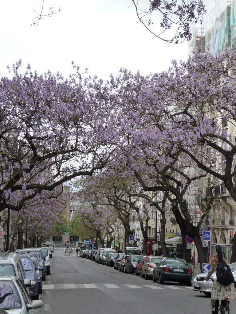 Paulownias en fleur dans la rue Laumière, Paris 19e (75)
