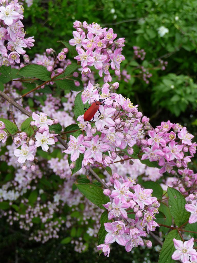 Cardinal (Pyrochroa coccinea), coléoptère, sur Deutzia x elegantissima 'Rosealind', ɉcole du Breuil, Paris 12e (75)