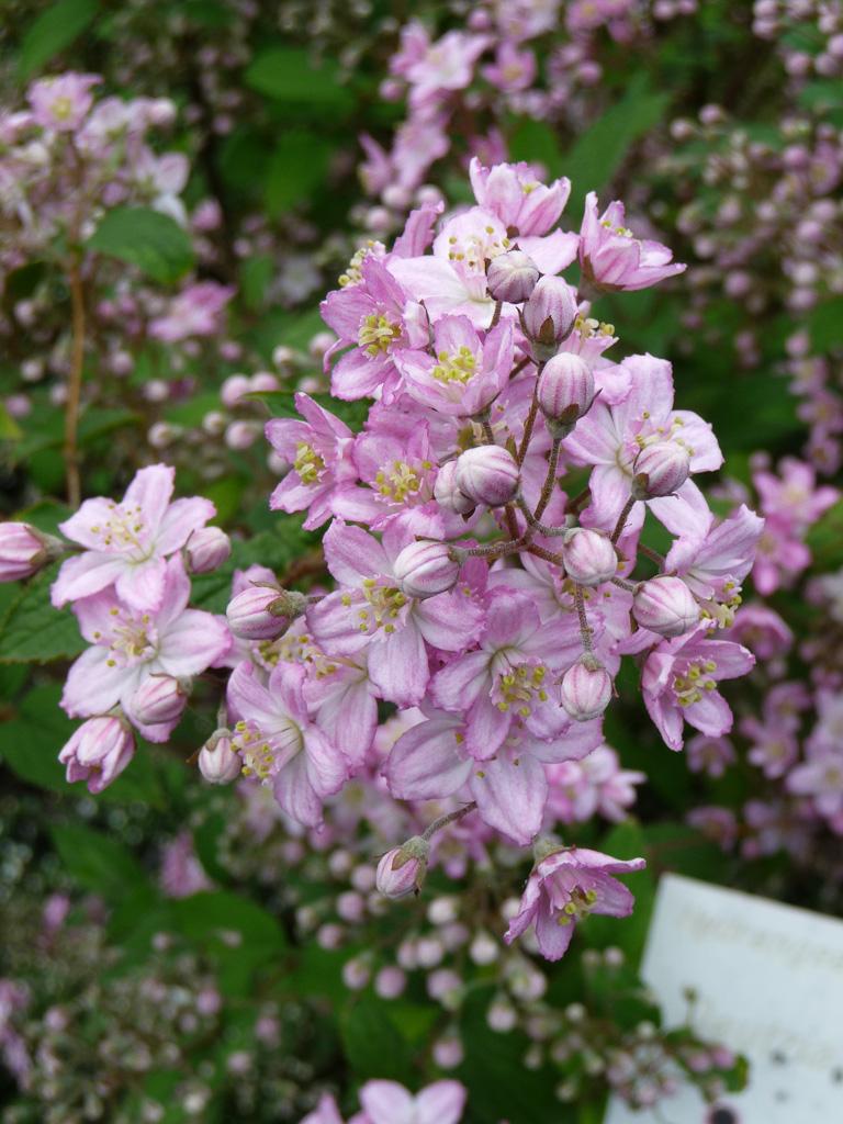 Deutzia x elegantissima 'Rosealind', ɉcole du Breuil, Paris 12e (75)