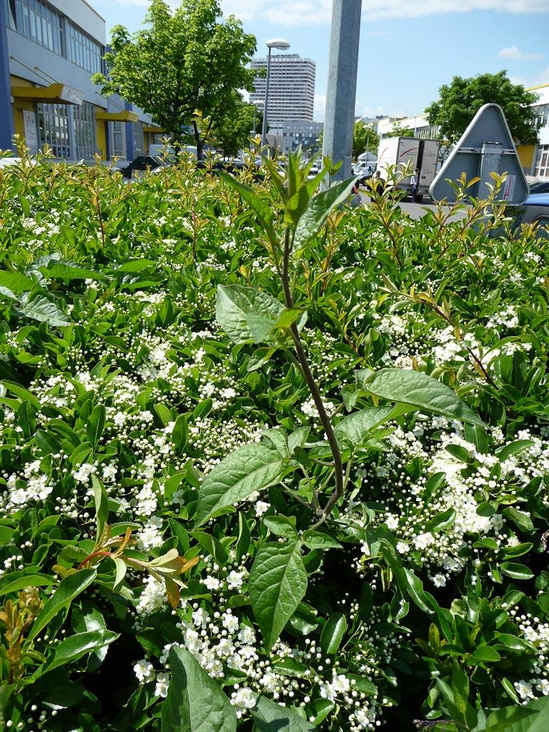 Douce-amère (Solanum dulcamara) poussant dans une haie, Cap 18, Paris 18e (75)
