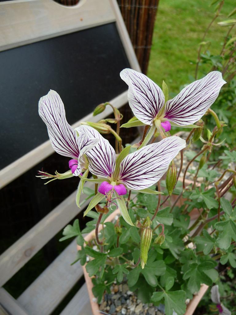 Pelargonium praemorsum ssp. speciosum (Géraniacées), Pépinière Fleurs du Sud, Journées des Plantes de Courson, Printemps 2012, Domaine de Courson, Courson-Monteloup (Essonne)