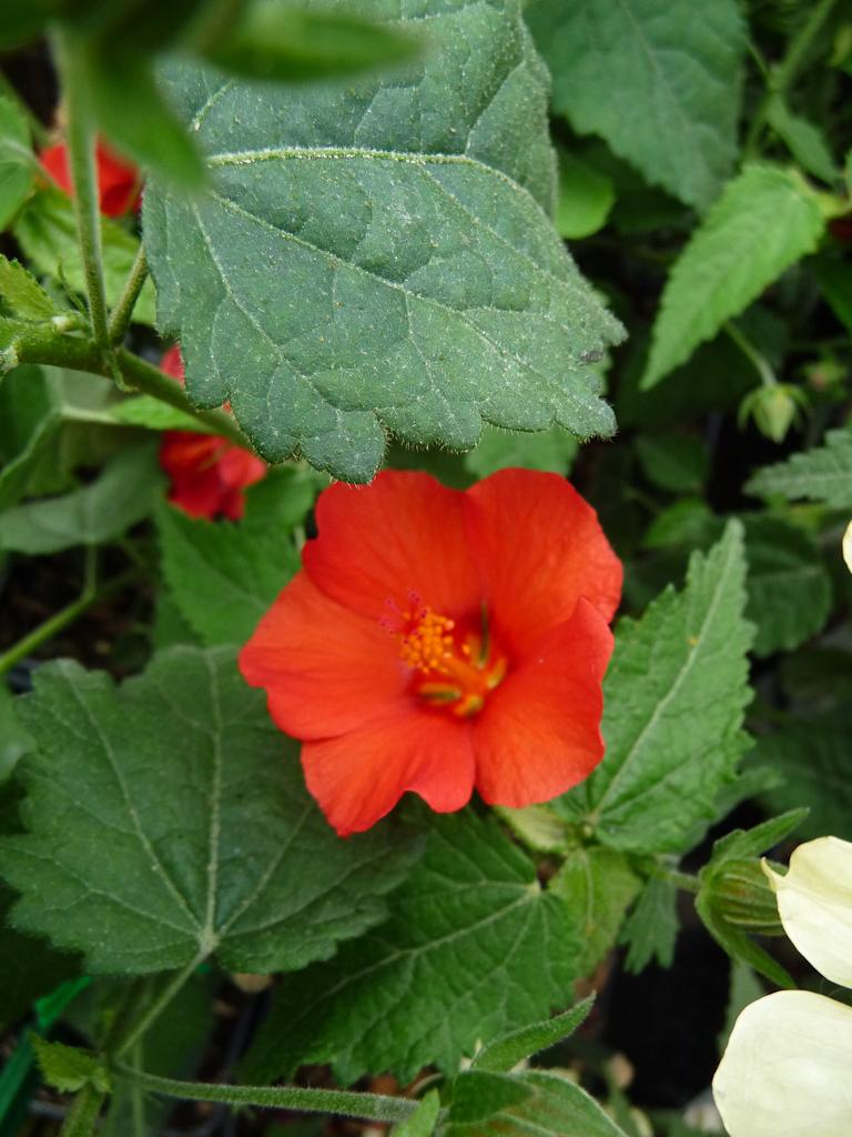 Pavonia 'Miskii' (Malvacées), Pépinière Fleurs du Sud, Journées des Plantes de Courson, Printemps 2012, Domaine de Courson, Courson-Monteloup (Essonne)