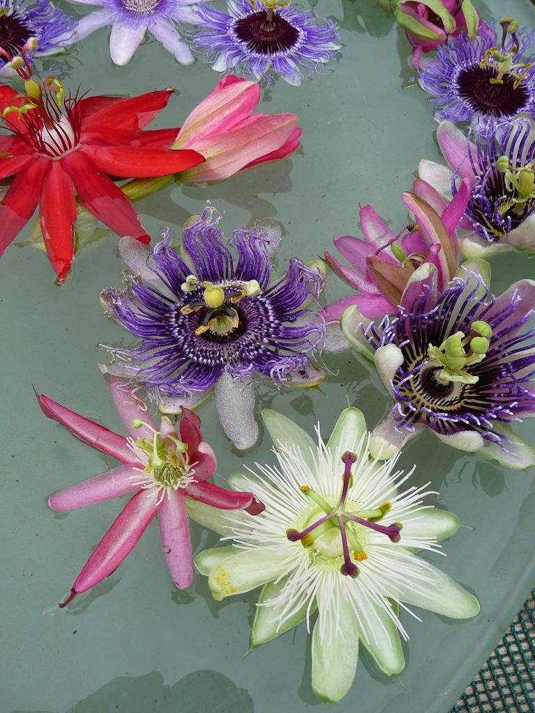 Vasque aux passiflores, Nationale Collectie Passiflora, Journéees des Plantes de Courson, Printemps 2012, Domaine de Courson, Courson-Monteloup (Essonne)