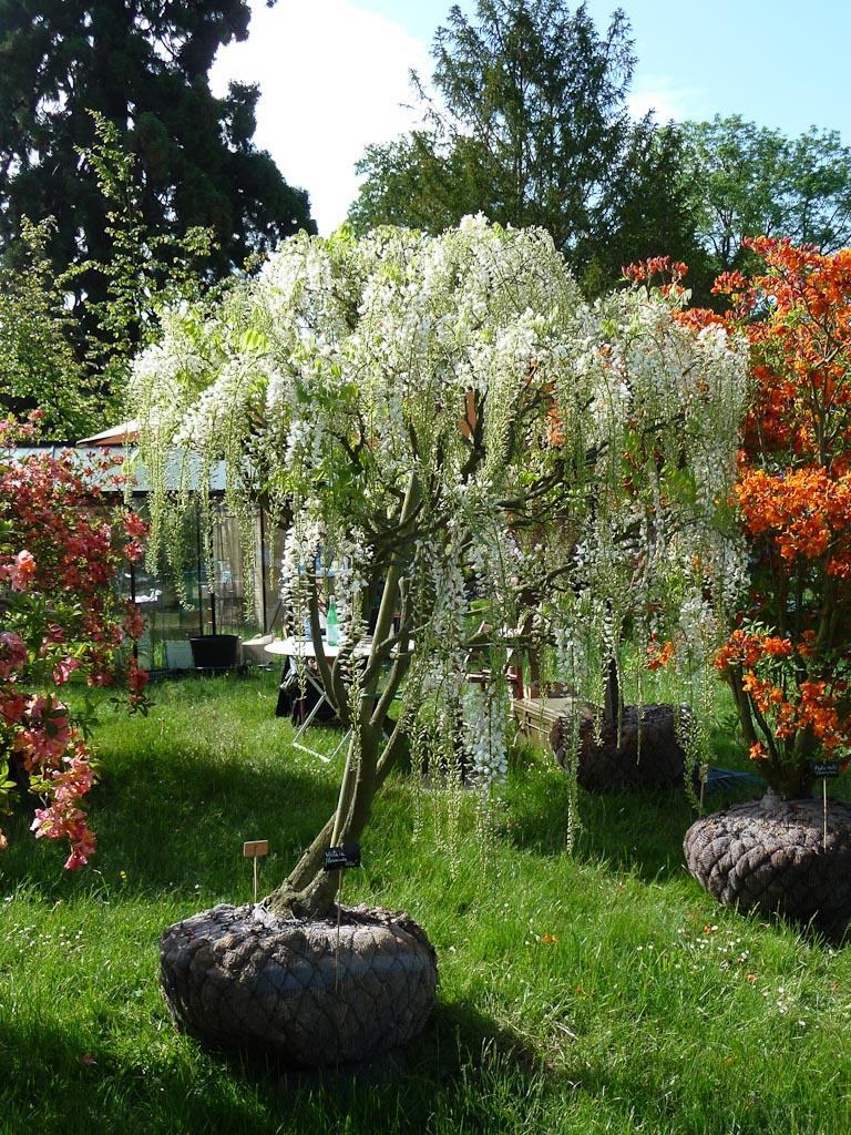 Glycine en arbre, Wisteria floribunda 'Alba', Domaine des Rochettes, Journées des Plantes de Courson, Printemps 2012, Domaine de Courson, Courson-Monteloup (Essonne)