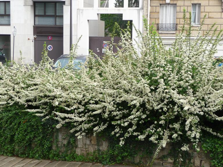Haie de pyracanthas le long de la rue du Ranelagh, Paris 16e (75)