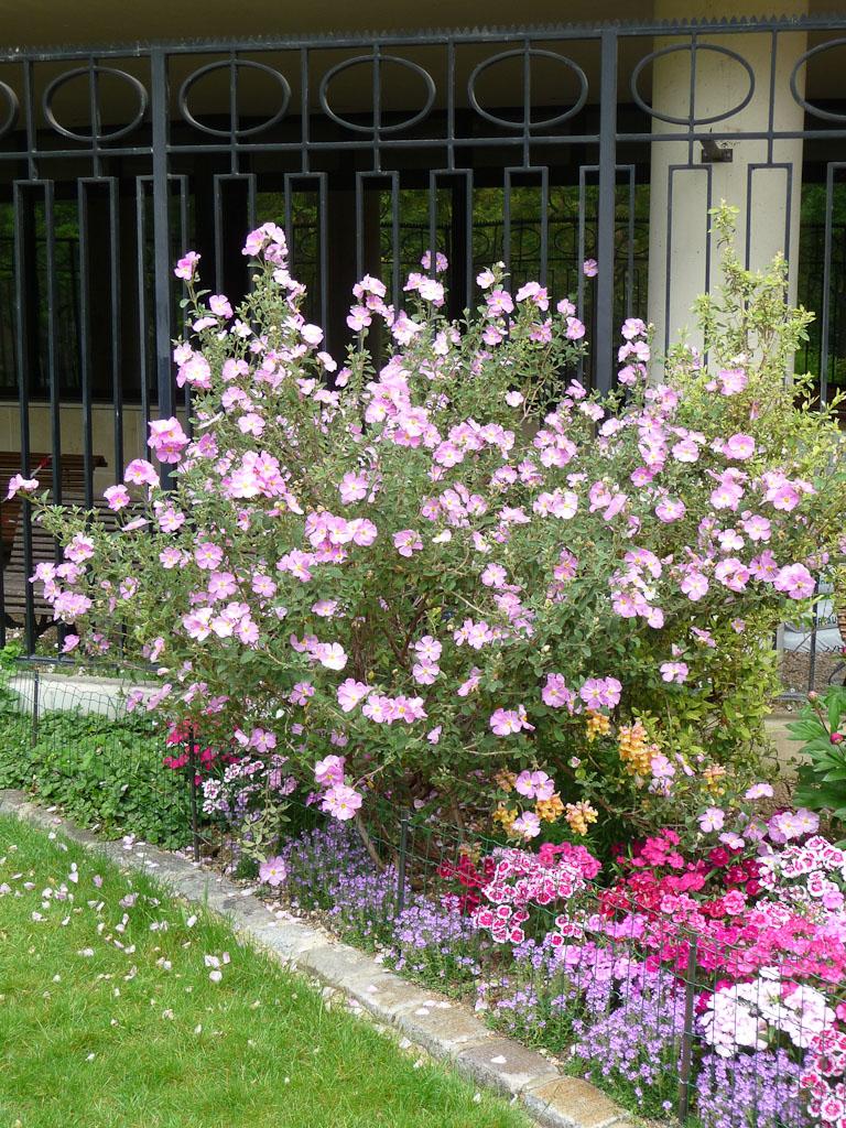 Ciste en pleine floraison dans le square Henri Collet, Paris 16e (75)