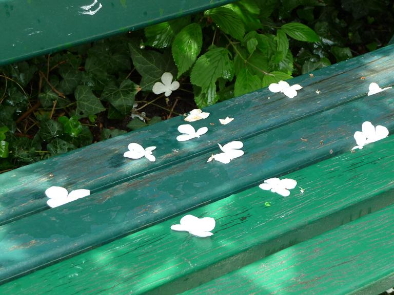 Fleurs de viorne tombées sur un banc au printemps dans le parc des Buttes-Chaumont, Paris 19e (75)