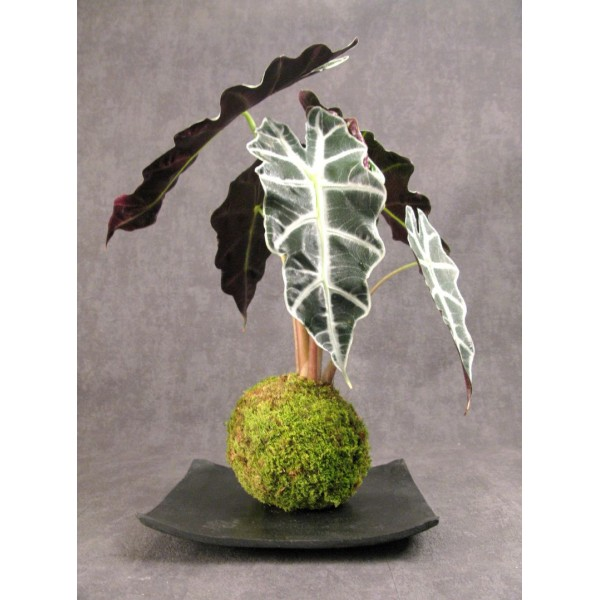 Kokedama, Aquaphyte Design