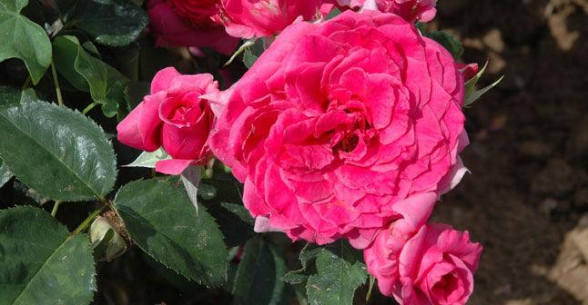Rose Maison Française / Guillot