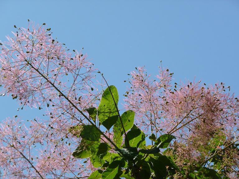 Arbre à perruque (Cotinus) en fleur dans le parc de la Villette par une belle journée ensoleillée, Paris 19e (75)