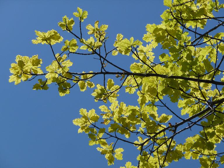 Chêne à feuillage doré dans le parc de la Villette par une belle journée ensoleillée, Paris 19e (75)