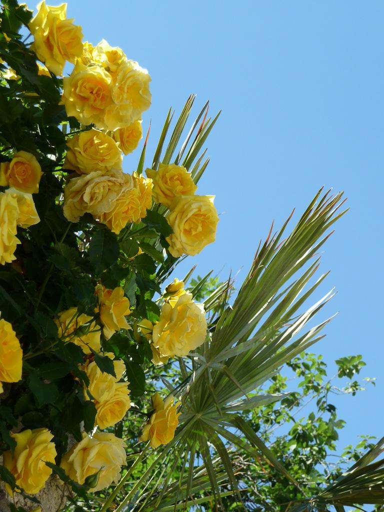 Rosier grimpant à fleurs jaunes et palmier dans le square Saint-Lambert, Paris 15e (75)