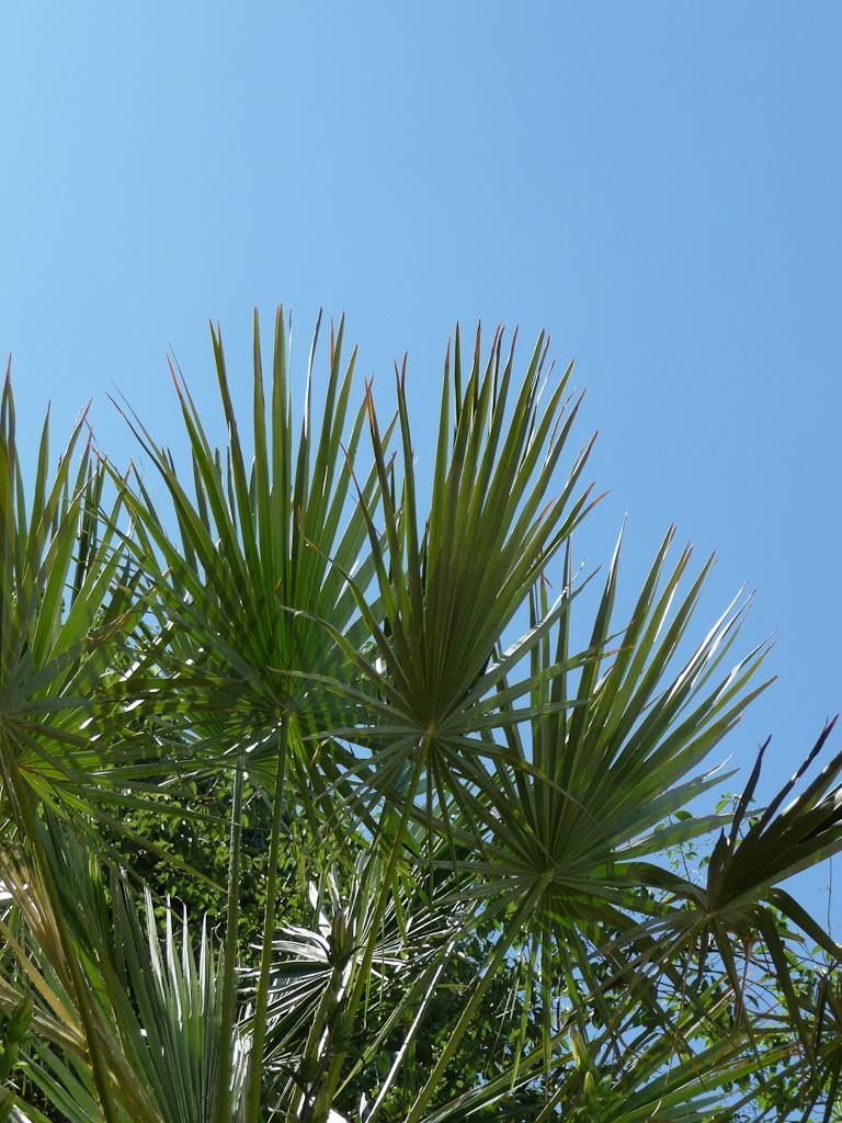 Palmier (Trachycarpus fortunei) dans le square Saint-Lambert, Paris 15e (75)