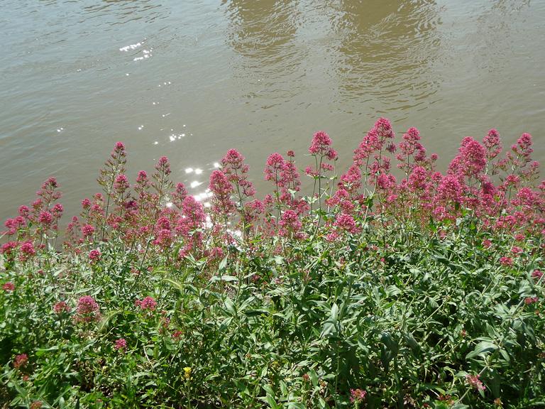 Valériane des jardins (Centranthus ruber) sur la berge de l'Ύle aux Cygnes, en bord de Seine, Paris 15e (75)