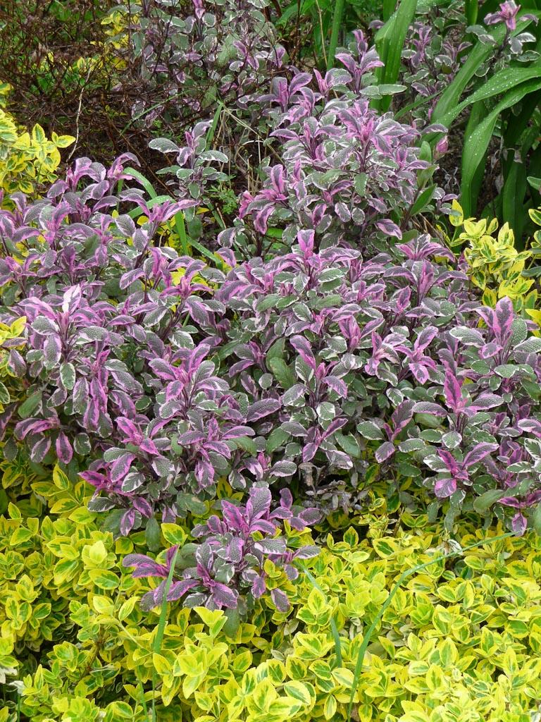 Sauge officinale (Salvia officinalis 'Tricolor') dans le square Galliera, Paris 16e (75)