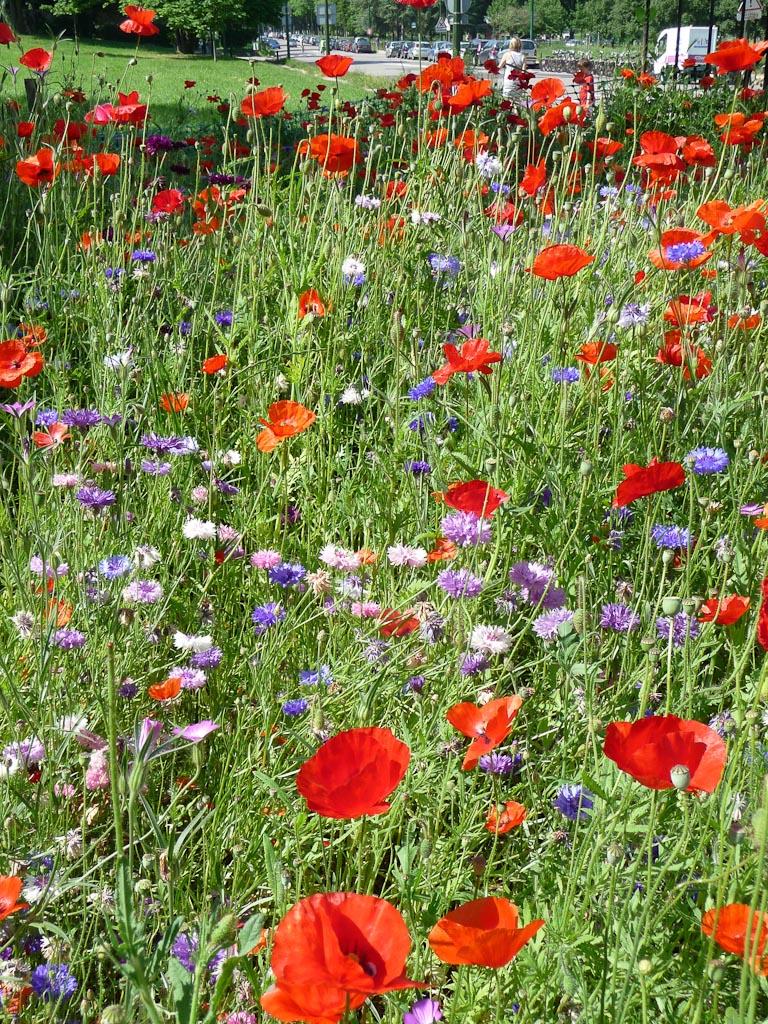 Petite prairie fleurie avec coquelicots et bleuets près du parc de Bagatelle, Bois de Boulogne, Paris 16e (75)