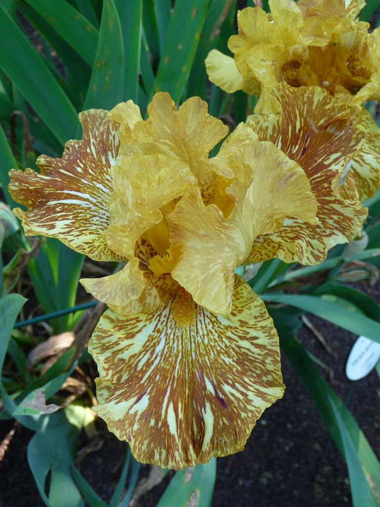 Iris 'Tiger Honey', Kasperek / 1993, Jardin d'iris dans le parc de Bagatelle, Bois de Boulogne, Paris 16e (75)