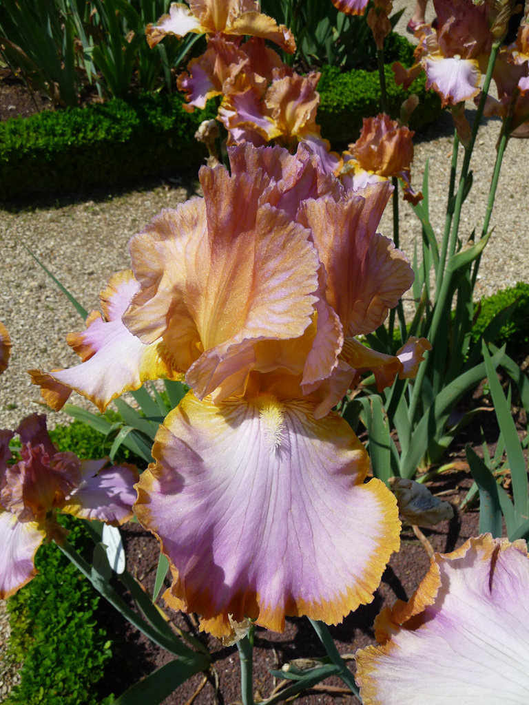 Iris 'Afternoon Delight', Ernst / 1983, Jardin d'iris dans le parc de Bagatelle, Bois de Boulogne, Paris 16e (75)