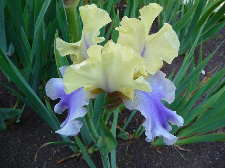 Iris 'Edith Wolford', Hager / 1986, Jardin d'iris dans le parc de Bagatelle, Bois de Boulogne, Paris 16e (75)