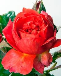 Rose Stéphane Bern / Roseraie Fabien Ducher