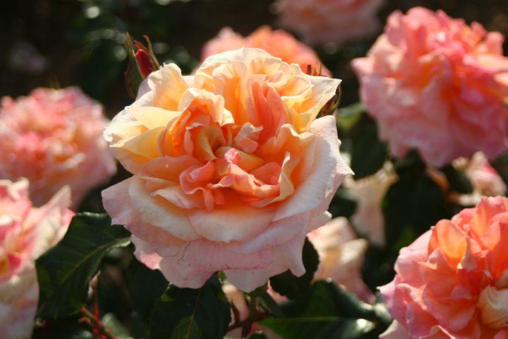 Rose Terre de Feu, photo Dorieux