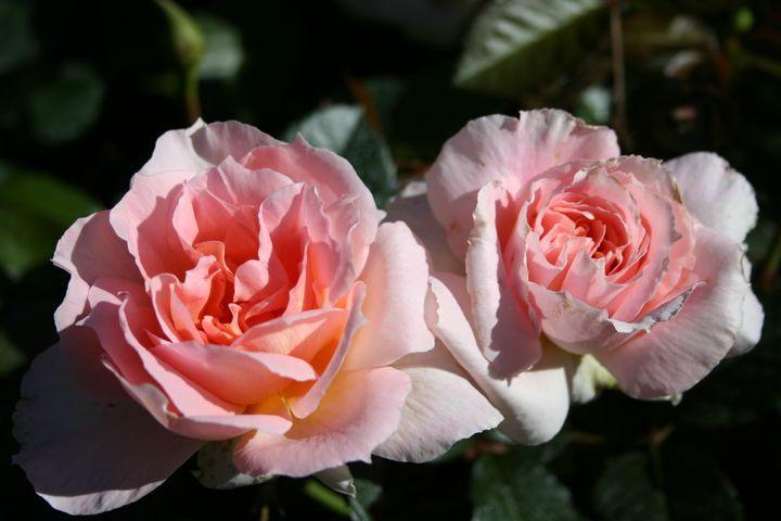 Rose Coeur de Nacre, photo Dorieux