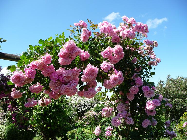 Rose Villa Rosa, création d'André Ȉve (2002), Jardins d'André Ȉve (Loiret)