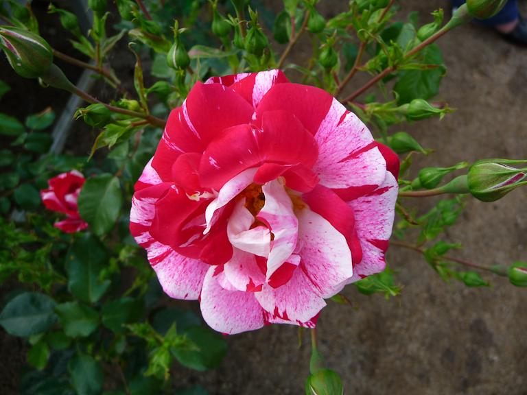 Rose 'Excentrique', création André Ȉve, Jardins d'André Ȉve (Loiret), Jubilé d'André Ȉve (Loiret)