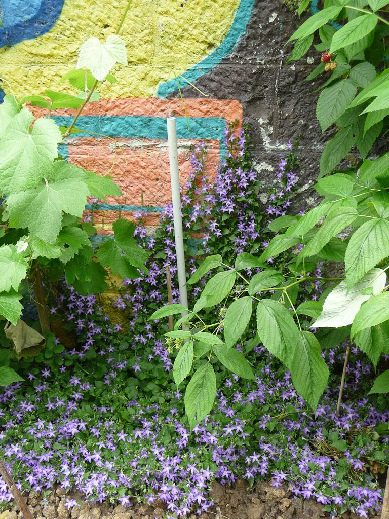 Campanule grimpant contre un mur dans les Jardins du Ruisseau, rue du Ruisseau (le long de la Petite Ceinture), Paris 18e (75)