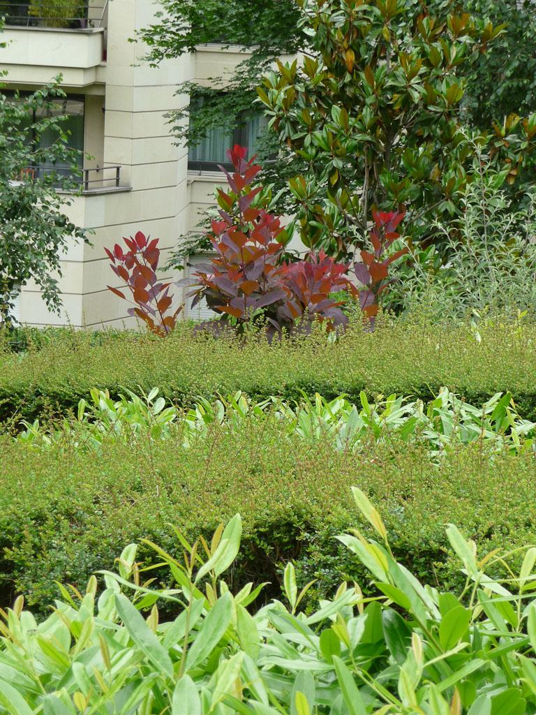 Cotinus pourpre  parmi des haies de lauriers palmes et de lonicéras, parc de Passy, Paris 16e (75)